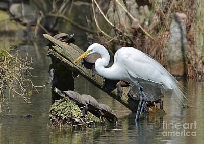 Great Egret In The Swamps Poster