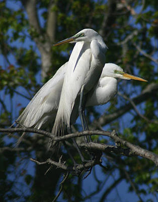 Great Egret Pair 11x14 Poster by David Lynch