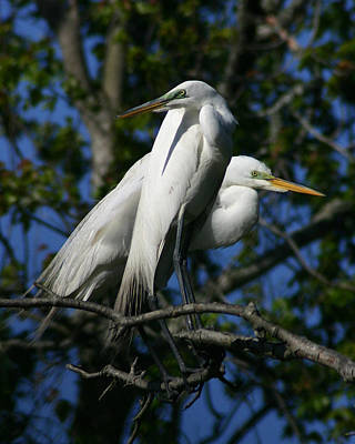 Great Egret Pair 16x20 Poster by David Lynch