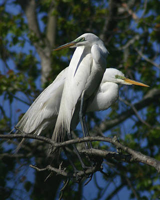 Great Egret Pair 8x10 Poster by David Lynch