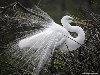 Great Egret Preening Poster by Fran Gallogly