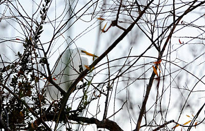Great Egret Roosting In Winter Poster