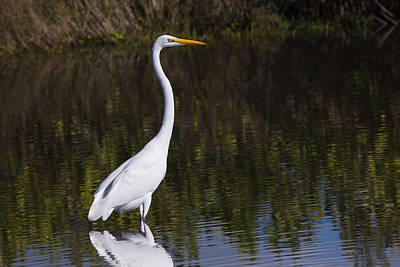Great Egret Standing Out Poster
