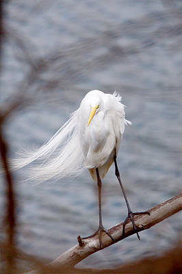 Great Egret Windy Portrait Poster
