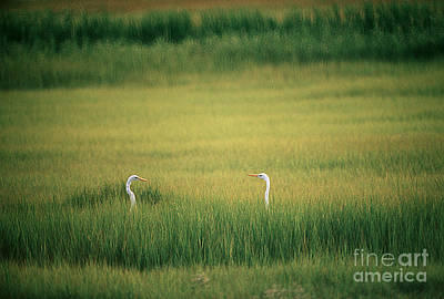 Great Egrets Poster by James L. Amos