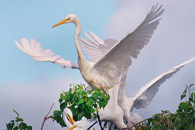 Great Egrets Parents And Young (ardea Poster