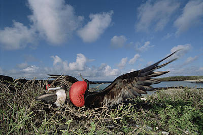 Great Frigatebird Female Eyes Courting Poster by Tui De Roy