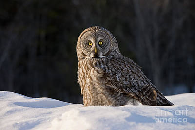 Great Gray Owl In Snow Poster by Michael Cummings