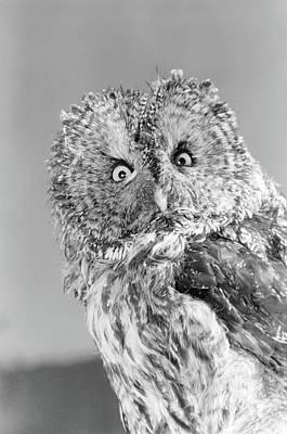 Great Gray Owl Strix Nebulosa Staring Poster