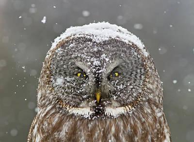Great Grey Owl Winter Portrait Poster