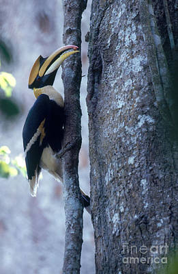 Great Hornbill Poster by Art Wolfe