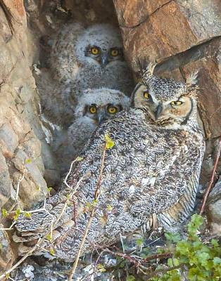 Great Horned Owl And Owlets Poster