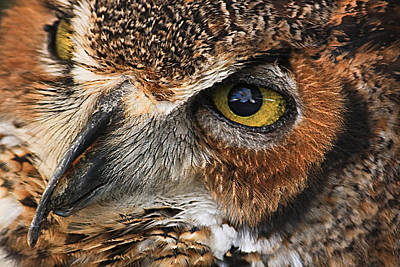 Poster featuring the photograph Great Horned Owl by Tammy Schneider