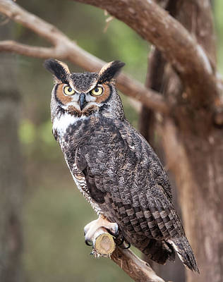 Poster featuring the photograph Great Horned Owl by Tyson and Kathy Smith