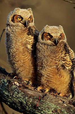 Great Horned Owls (bubo Virginianus Poster