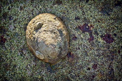 Great Owl Limpet Poster