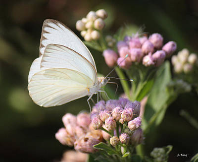 Great Southern White Butterfly On Pink Flowers Poster
