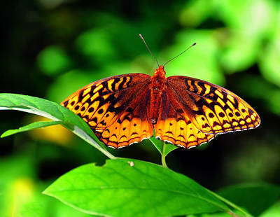 Great Spangled Fritillary Poster by Chris Flees
