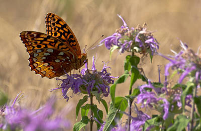Great Spangled On Bee Balm Poster by Shelly Gunderson