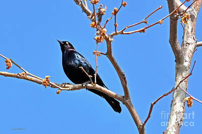 Great-tailed Grackle On A Sunny Spring Day Poster by Susan Wiedmann