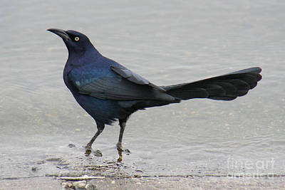 Poster featuring the photograph Great-tailed Grackle Wading by Bob and Jan Shriner