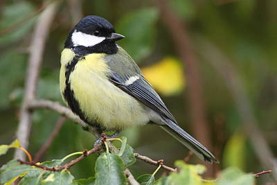 Great Tit Poster by Bruce J Robinson