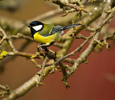 Great Tit Poster by Chris Whittle
