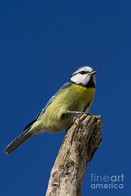 Great Tit On Blue Poster