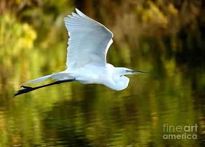 Great White Egret At Sunset Poster