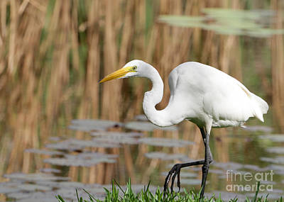 Great White Egret By The River Poster