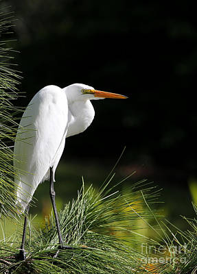Great White Egret In The Tree Poster by Sabrina L Ryan