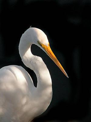 Great White Egret Portrait. Merritt Island N.w.r. Poster