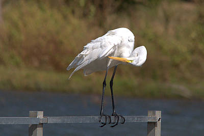 Great White Egret Preening Poster