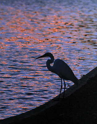 Great White Egret Silhouette  Poster
