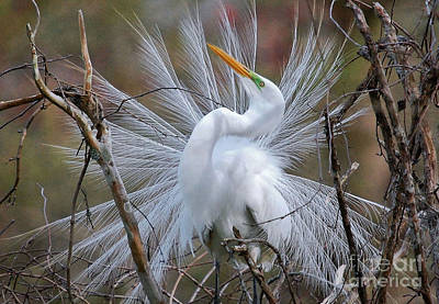 Poster featuring the photograph Great White Egret With Breeding Plumage by Kathy Baccari