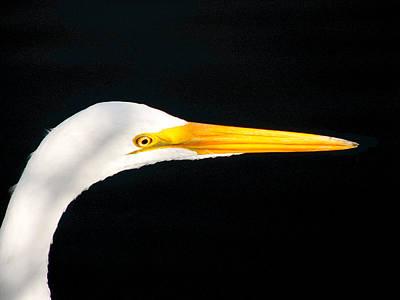 Great White Headshot. Merritt Island N.w.r. Poster
