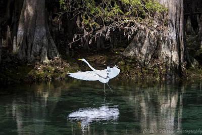 Great White Heron In Flight Poster