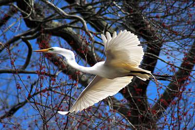 Great White Heron Islip New York Poster by Bob Savage