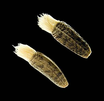 Greater Burdock Seeds, Light Micrograph Poster