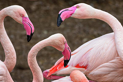 Greater Flamingos (captive Poster