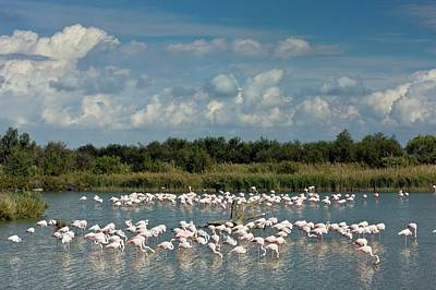 Greater Flamingos Foraging Poster
