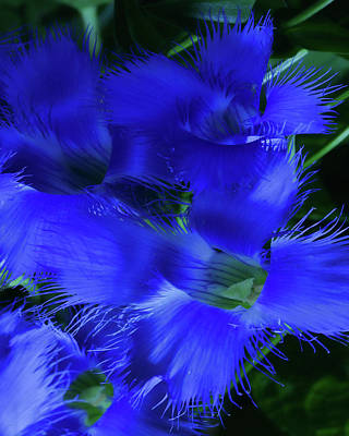 Poster featuring the photograph Greater Fringed Blue Gentian by Gregory Scott