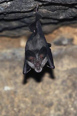 Greater Horseshoe Bat Poster by M. Watson