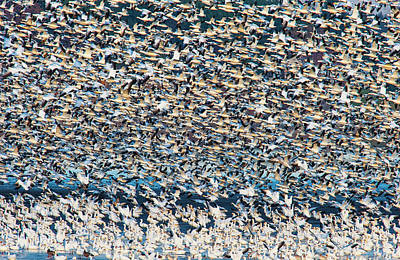 Greater Snow Goose Migration Poster by David Doubilet