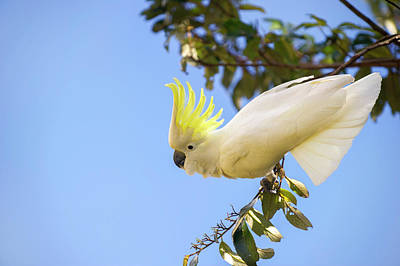 Greater Sulphur-crested Cockatoo Poster by Louise Murray