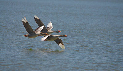 Greater White-fronted Geese In Flight Series 4 Poster