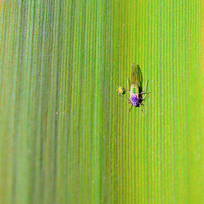 Green Aphid Insect Poster