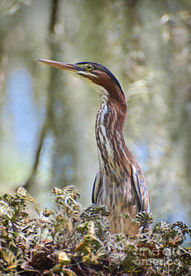 Poster featuring the photograph Green Backed Heron In An Oak Tree by Kathy Baccari