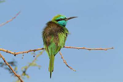 Green Bee-eater (merops Orientalis) Poster by Photostock-israel