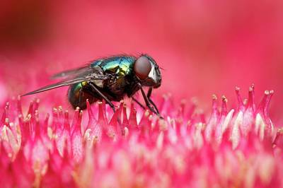 Green Bottle Fly Poster by Heath Mcdonald